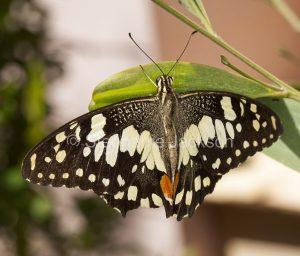 Chequered swallowtail butterfly, Papilio demoneus in Queensland Australia