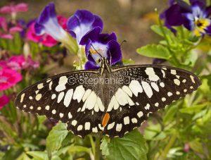 Chequered swallowtail butterfly, Papilio demoneus, feeding on flower in a garden in Queensland Australia.