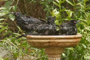 Three White-winged Choughs, Corcorax melanorhamphos, with feathers soaked with water, in a garden bird bath during a summer heatwave in Queensland Australia.