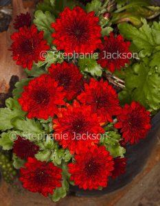 Vivid red flowers and green leaves of Chrysanthemum