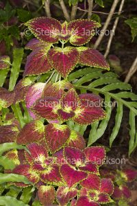 Colourful red foliage of Solenostemon scutellarioides, a perennial plant that's commonly known as Coleus or Painted Nettle.