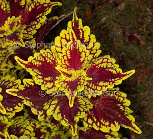 Vivid red and gold foliage of Solenostemon scutellarioides 'Carnival', a perennial plant that's commonly known as 'Coleus'.