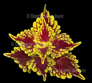 Vivid red and gold foliage of Solenostemon scutellarioides 'Carnival', a perennial plant that's commonly known as 'Coleus'. on black background