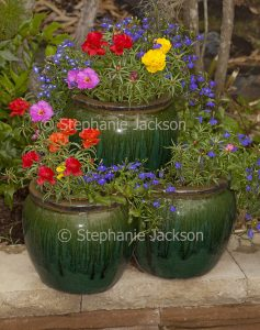 Colourful annuals, lobelia and portulaca with red, blue and yellow flowers, growing in decorative green striped strawberry / herb pot.