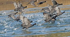 Flock of Eurasian coots, Fulicra atra. in flight, taking off from blue water of a lake in NSW Australia