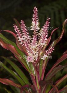 Flowers of Cordyline fruticosa cultivar.