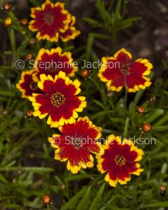 Vivid red and yellow flowers of perennial Coreopsis lanceolata 'Calypso'