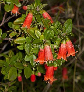 Red flowers of Australian shrub, Correa pulchella, native fuchsia, Innes National Park, Yorke Peninsula South Australia