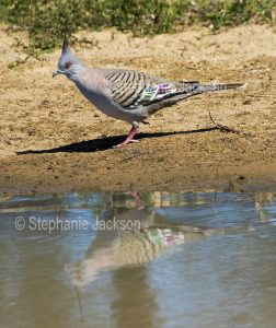 Crested Pigeon, Ocyphaps / Geophaps lophotes, beside and reflected in the water of a stream in outback Queensland Australia