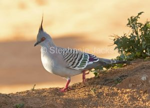 Crested Pigeon, Ocyphaps / Geophaps lophotes at Port Augusta in South Australia