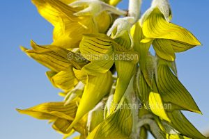 Flowers of Crotalaria cunninghamii, Green Birdflower, against blue sky in outback South Australia