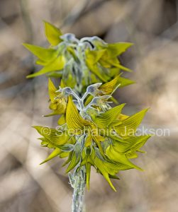 Flowers of Crotalaria cunninghamii, green birdflower in outback South Australia