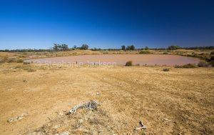 Outback landscape during drought with skeleton of sheep on bare ground near water of dam in NSW Australia.