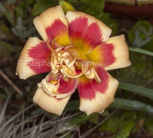 Red and apricot double flower of daylily, Hemerocallis '42nd Street'.