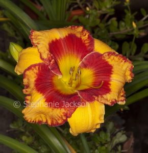 Vivid red and golden orange flower of daylily, Hemerocallis 'Candid Colours'.