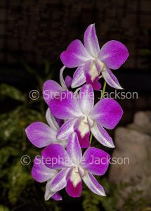 Pink / magenta and white flowers of orchid Dendrobium louisae on dark background