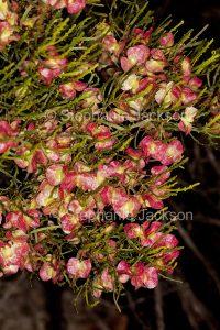 Seed capsules of Dodonea lobulata, Hop Bush in Flinders Ranges National Park, outback South Australia.