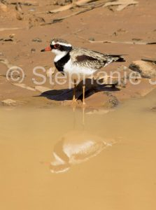 Black-fronted Dotterel, Elseyornis melanops, on the edge of a muddy dam and reflected in the water, in outback Queensland Australia