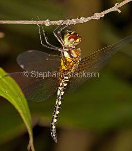 Water Prince Dragonfly, Hydrobasileus brevistylus, in Queensland Australia.