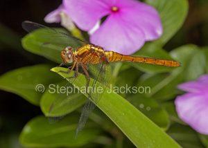 Fiery skimmer dragonfly, Orthetrum villosovittatum, in Queensland Australia.