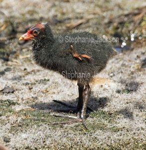 Baby bird, dusky moorhen chick, Gallinula tenebrosa, in an urban park in Queensland Australia