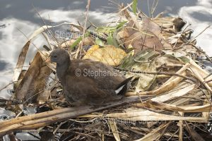 Juvenile / young dusky moorhen, Gallinula tenebrosa, on nest floating in water of a lake in Queensland Australia