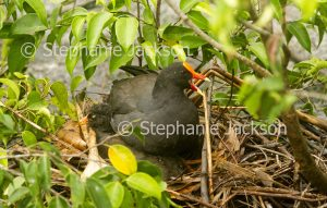 Dusky moorhen, Gallinula tenebrosa, sitting on nest in Queensland Australia