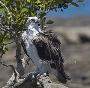 Eastern Osprey, Pandion cristatus, perched in a mangrove tree beside the beach at Hervey Bay in Queensland Australia.