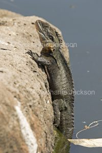 Lizard, eastern water dragon, Intellagama lesueurii, climbing out of the water of a lake in Queensland Australia.