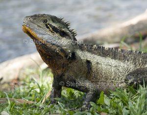 Lizard, eastern water dragon, Intellagama lesueurii, in Queensland Australia.