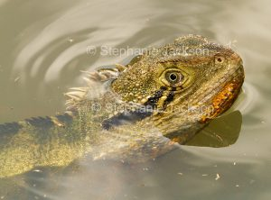 Face of lizard, eastern water dragon, Intellagama lesueurii, peering from the water of a lake in Queensland Australia.