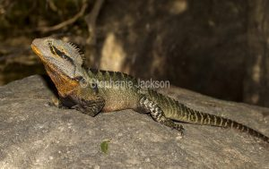Lizard, eastern water dragon, Intellagama lesueurii, on a rock in Queensland Australia.