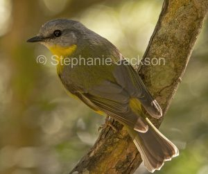Eastern Yellow Robin, Eopsaltria australis, on a tree trunk in its typical hunting pose, in a forest in northern NSW Australia.