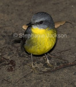 Eastern Yellow Robin, Eopsaltria australis, on the ground, in bushland in NSW Australia.