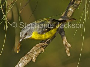 Eastern Yellow Robin, Eopsaltria australis, with a hairy caterpillar in its bill, in bushland in northern NSW Australia.