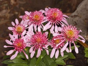 Cluster of pink flowers and foliage of Echinacea cultivar, Double Scoop series, 'Bubble Gum'.