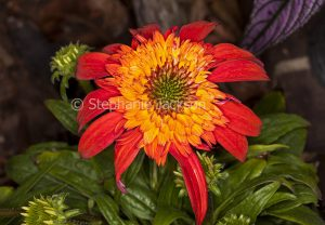 Orange and red flower and foliage of Echinacea cultivar, Double Scoop series, 'Mandarin'.