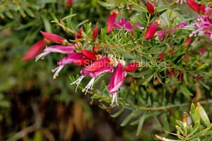 Red flowers of Eremophila maculata, Emu Bush, in outback Queensland