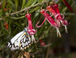 Butterfly on red flowers of Eremophila maculata, Emu Bush, in outback Queensland