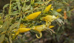 Flowers of Eremophila maculata lutea, Yellow Emu Bush