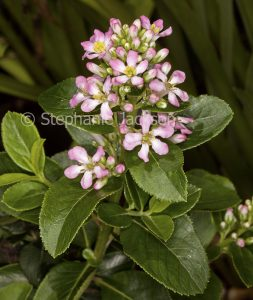 Pale pink flowers and foliage of Escallonia laevis 'Pink Elle'.