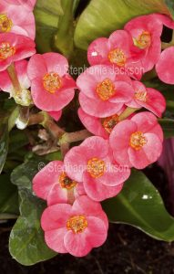 Cluster of deep pink flowers of Euphorbia millii 'Lipstick', a drought tolerant succulent plant that's common known as Crown of Thorns.