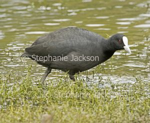 Eurasian coot, Fulicra atra. wading in water of lake in urban park on Queensland Australia