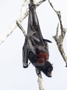 Grey-headed flying fox / fruit bat (Pteropus poliocephalus) hanging in a tree at the coastal city of Hervey Bay in Queensland, Australia.