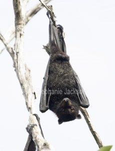 Grey-headed flying fox / fruit bat (Pteropus poliocephalus) hanging in a tree at the coastal city of Hervey Bay in Queensland, Australia