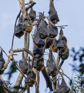 Grey-headed flying foxes / fruit bats (Pteropus poliocephalus) hanging in a tree in the Wingham Brush Nature Reserve in NSW, Australia.