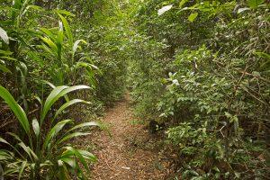 Walking track leading through dense rainforest of national park near Dorrigo in northern NSW Australia