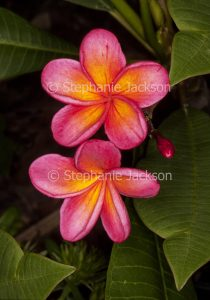 Red and yellow perfumed flowers of Plumeria rubra 'Darwin Sunset', a deciduous tree / shrub that's commonly known as Frangipani.