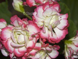 Double pink and white flowers of geranium, Pelargonium.