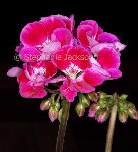 Bright pink flowers of geranium, Pelargonium 'Tex Mex'. on black background